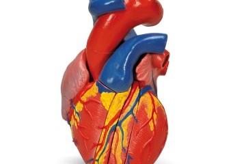 Srdce - nejohnivější orgán, který vládne všem ostatním v těle